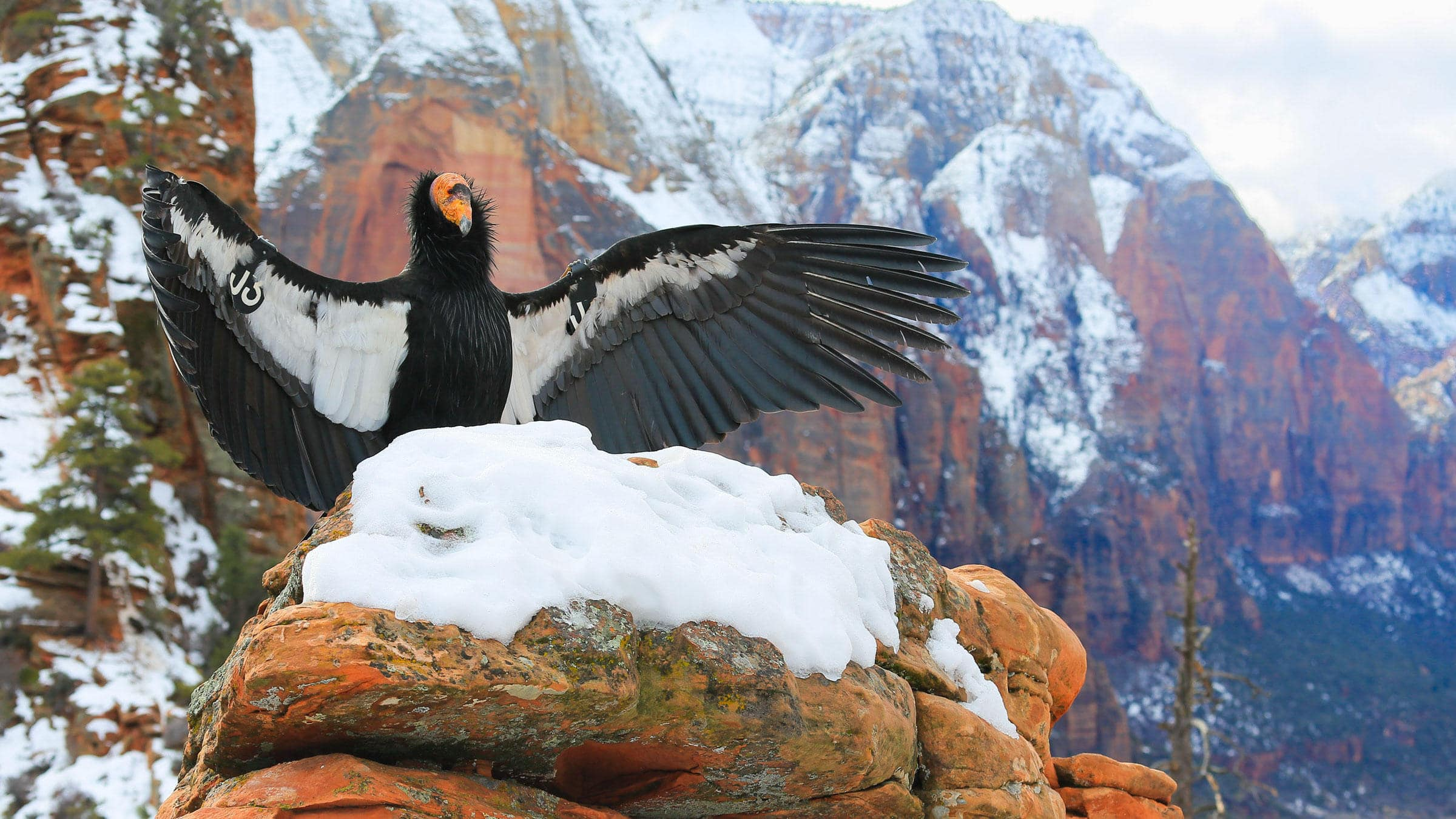 california condor zion animals