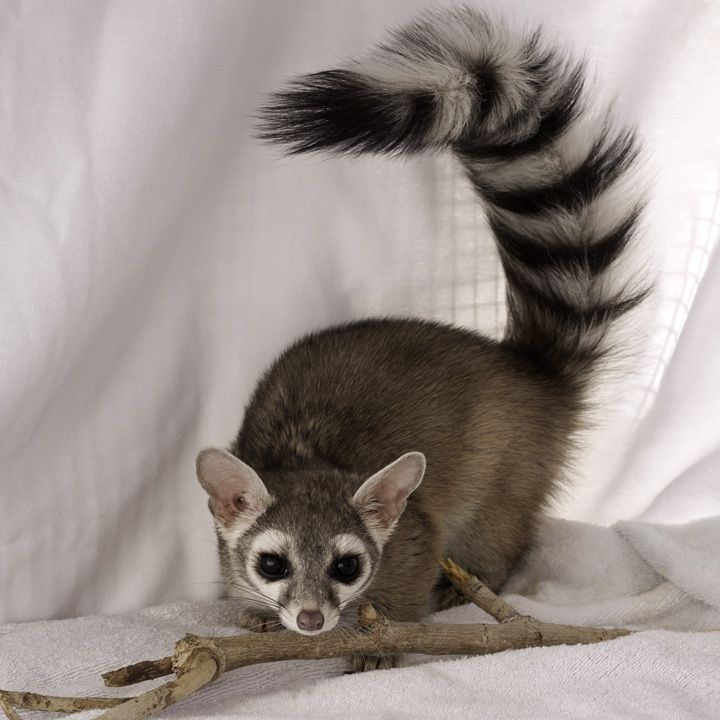 ringtail cat zion